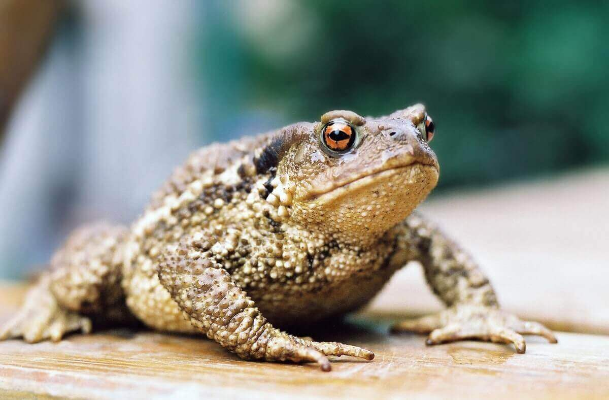 can you eat toads