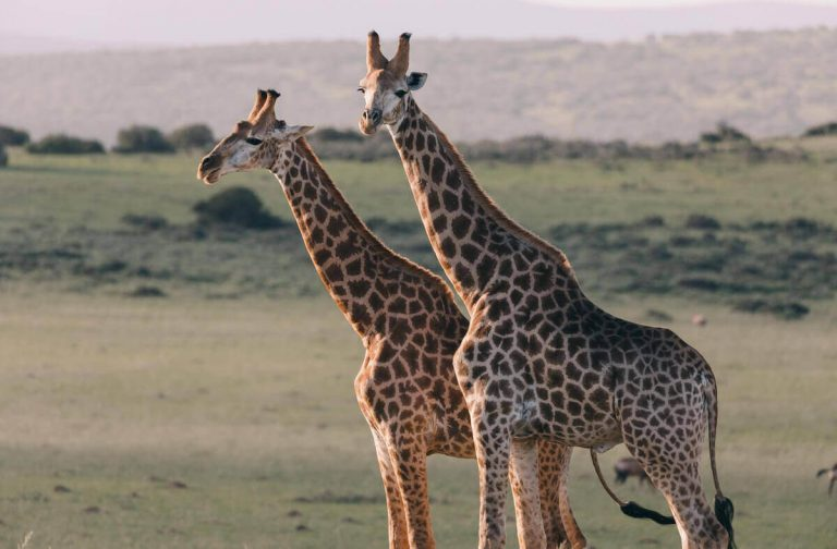 12 Cool Animals WIth Long Necks! [Pictures & Neck Length]