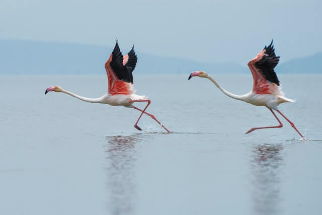 two flamingos in the shallow water
