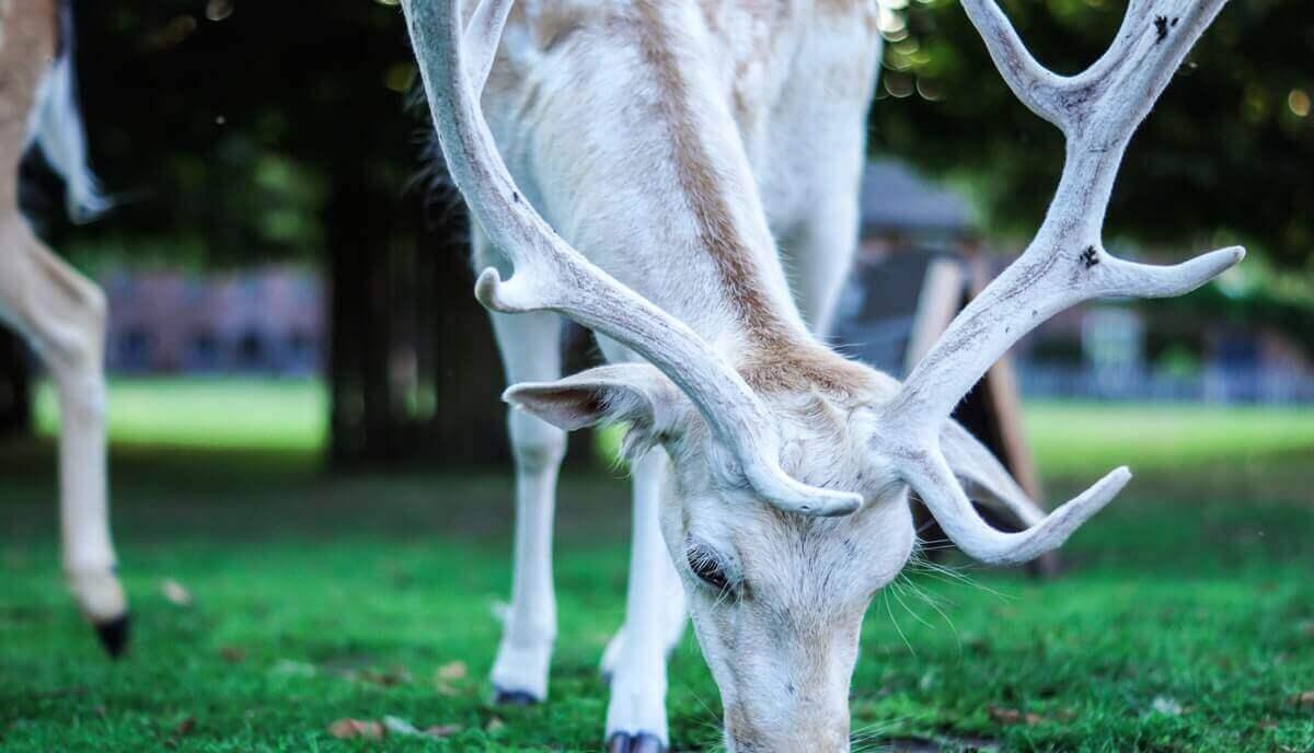 can herbivores eat meat