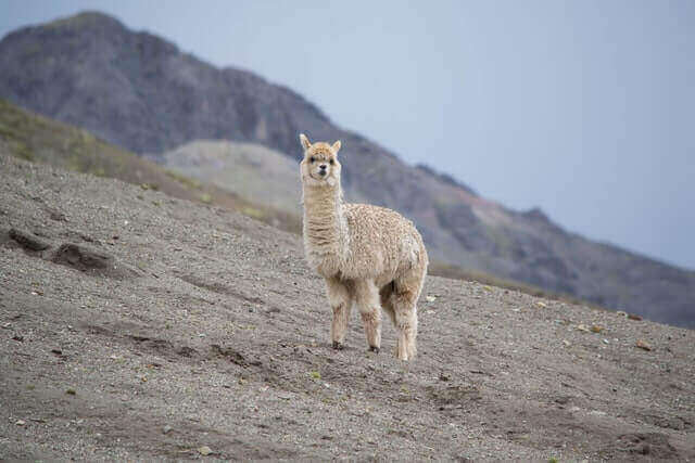 white llama standing on a white dirt ground