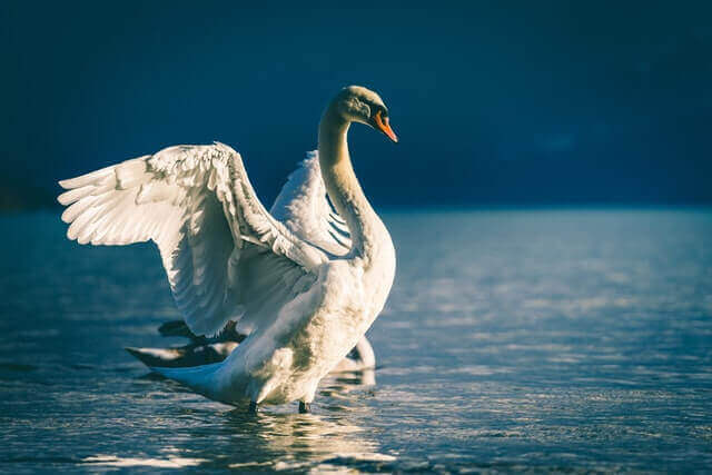 white swan spreading its wings in the water