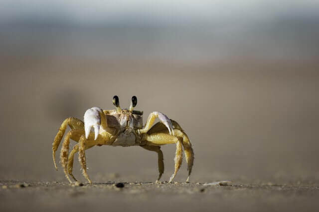 yellow crab walking on a shore
