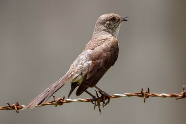 Northern mockingbird standing on a barbed wire