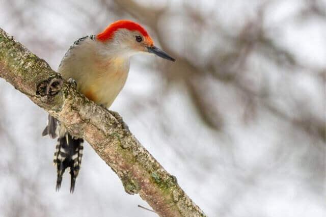Red-bellied woodpecker on a tree branch