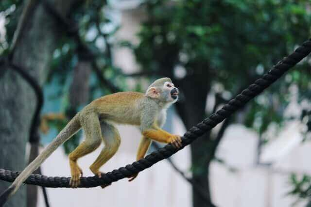 Squirrel monkey walking on a rope