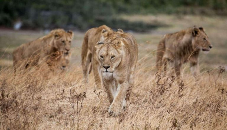 What Is a Group of Lions Called? (Answered & Explained)