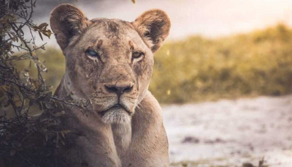 are lions dangerous