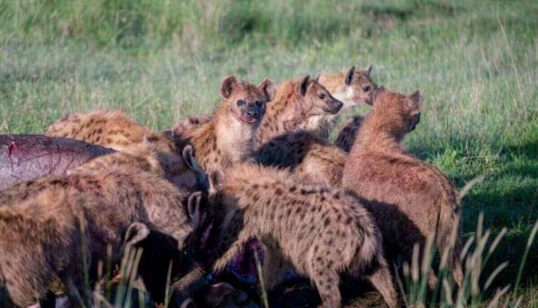 Are Hyenas Dangerous? Do Hyenas Attack Humans? (YES!)
