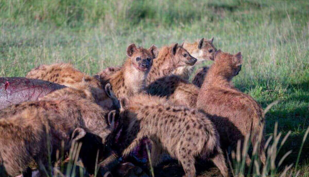 are hyenas dangerous