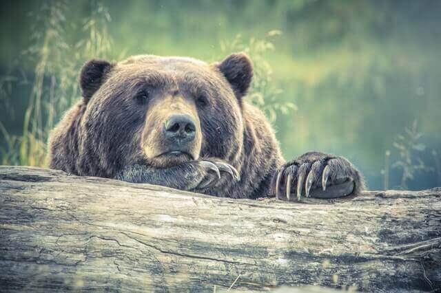 bear resting on tree log