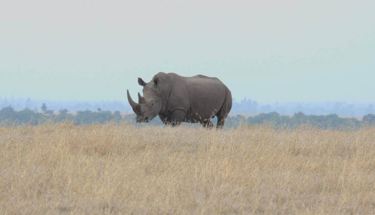 How Strong Are Rhinos? (Pretty Strong)