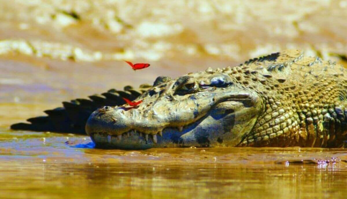 do crocodiles feel pain