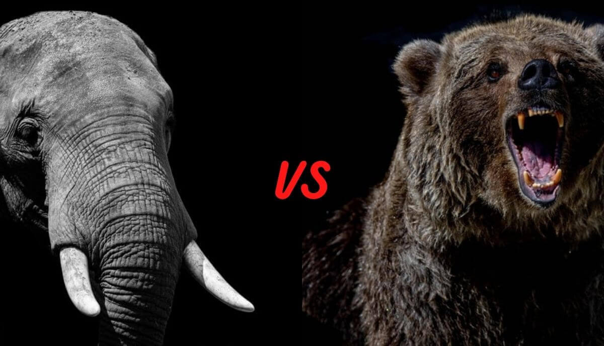 elephant vs bear who would win
