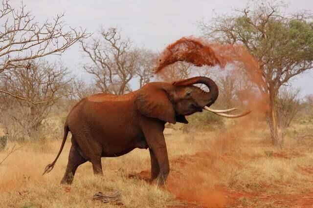 elephant throwing sand with tusk