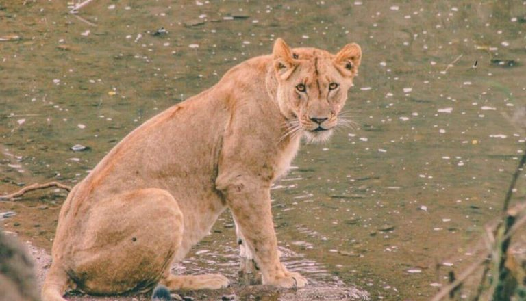 Can Lions Swim? Do Lions Like Water? (Explained)