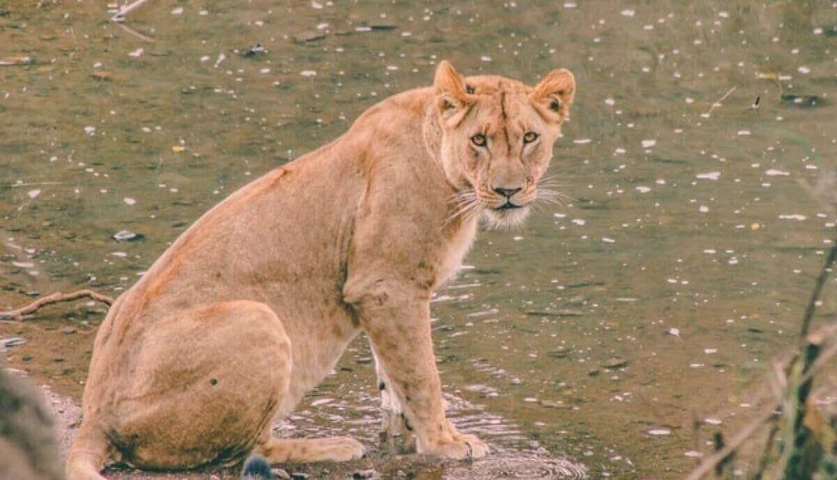 can lions swim
