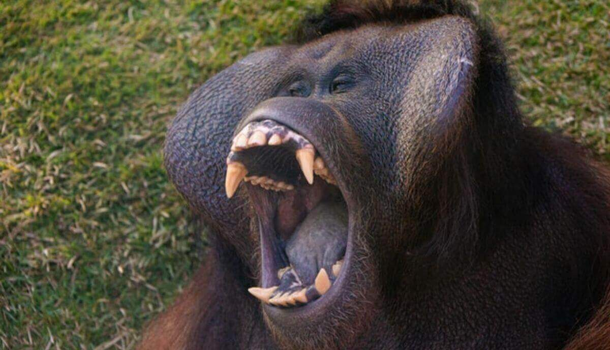 how strong are orangutans