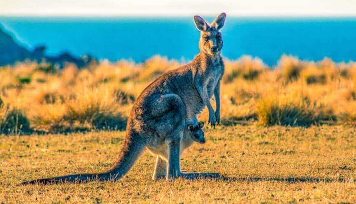 can you ride a kangaroo