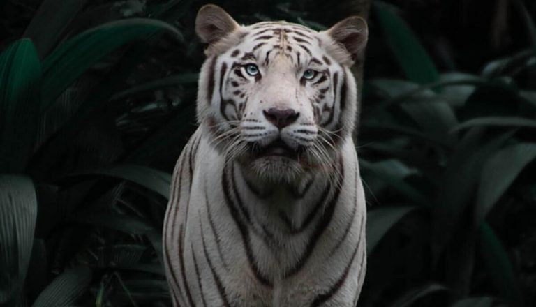 Are Tigers Smart? Tiger Intelligence Explained