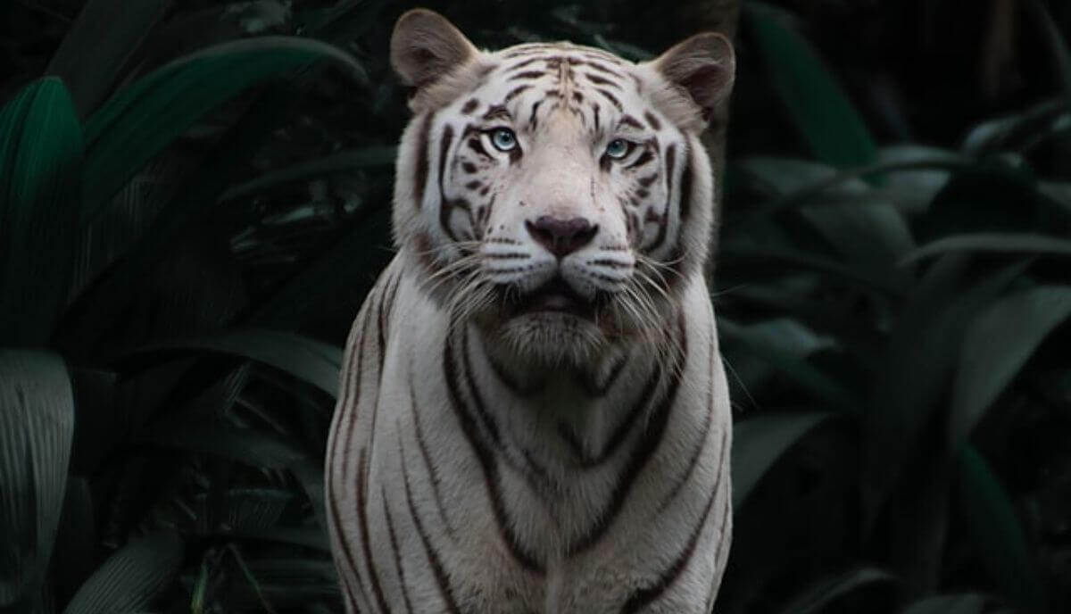 are tigers smart