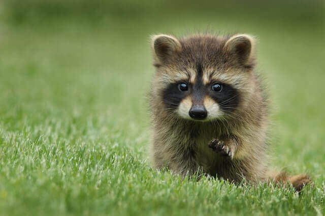 young raccoon walking on a grass